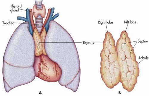 Thymus 5 O