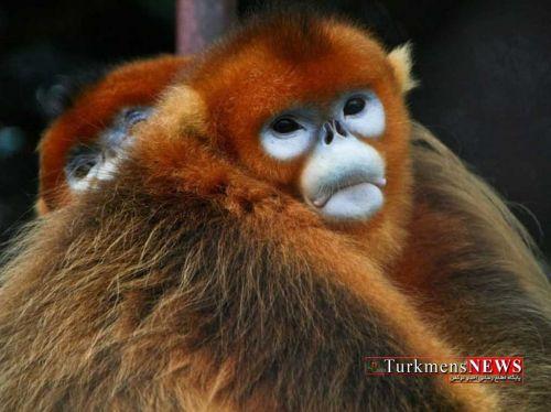 Monkey DamaghSarbala 23 T